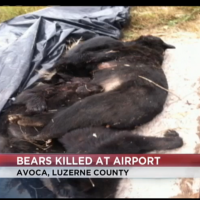 Mother bear and three cubs who who killed at the Wilkes-Barre/Scranton Internaitonal Airport. Photo credit: WBRE TV